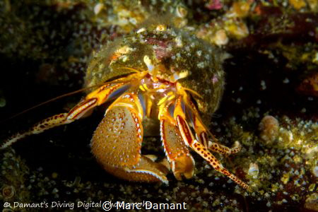 A colorful little Hermit Crab. by Marc Damant