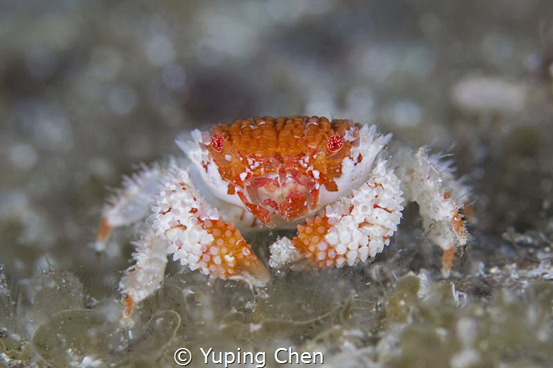 Beautiful Purse Crab/AKA island, Okinawa,Japan, Canon 5D ... by Yuping Chen