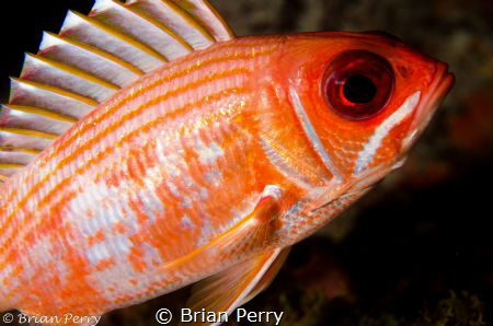 Longspine Squirrelfish - Key Largo, Florida by Brian Perry