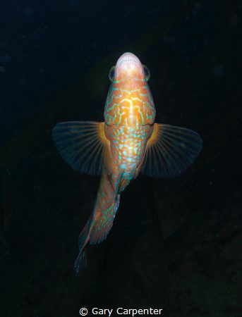 Looking up, Corkwing wrasse (Symphodus melops) by Gary Carpenter