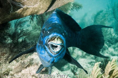 Midnight Parrotfish by Brian Perry