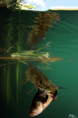 A pike trying to get a meal on a tench ... by Daniel Strub