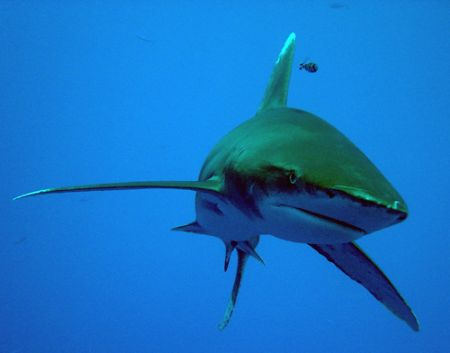 Oceanic white tip, in blue water with sony P9 by David Thompson