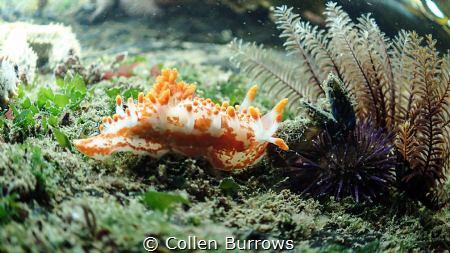 Nudi approaching a sea urchin by Collen Burrows