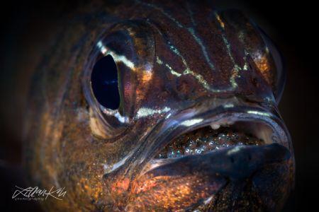 B R O O D Cardinalfishh with eggs by Lilian Koh