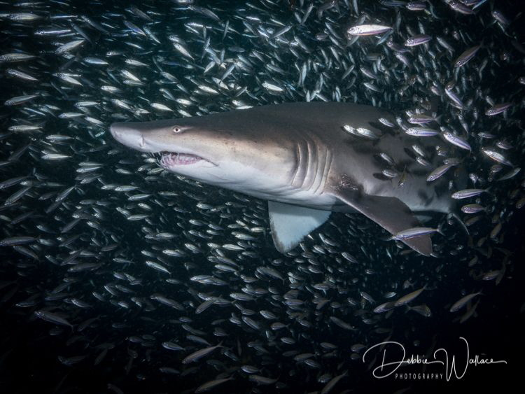 This is a lovely female sand tiger shark inside the bigge... by Debbie Wallace