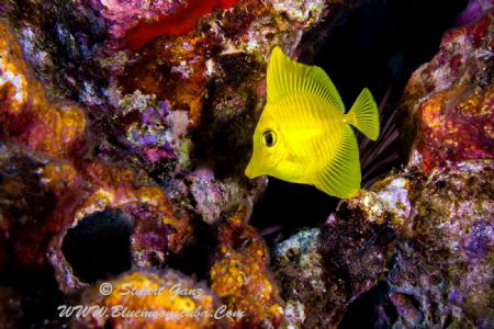 Juvenile yellow tang by Stuart Ganz
