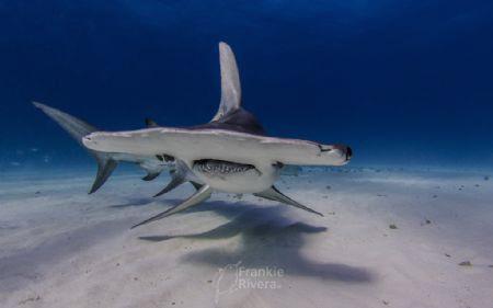 A beautiful Great Hammerhead Shark by Frankie Rivera