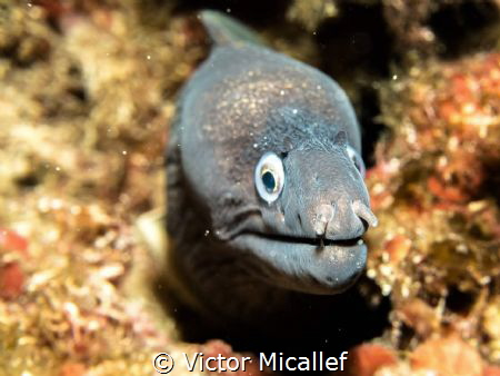 Not too close please. Moray eel by Victor Micallef