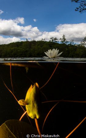 The pond at dusk....Water flower above and one about to o... by Chris Miskavitch