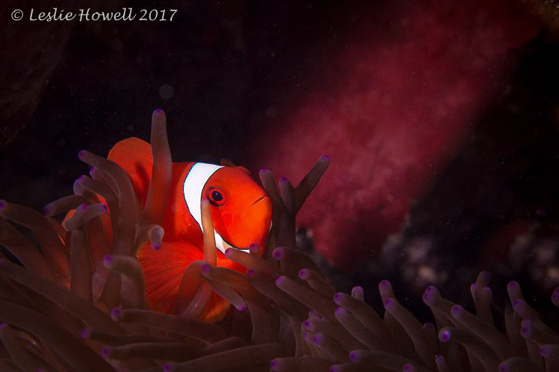 Clown fish and purple anemone by Leslie Howell