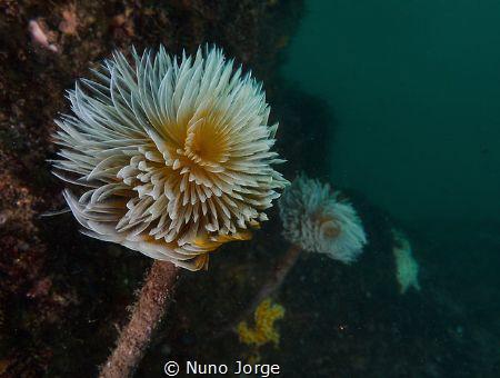 Spirographis in Cascais Ocean by Nuno Jorge
