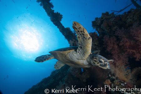 Early morning dive on the Carnatic with a turtle about to... by Kerri Keet