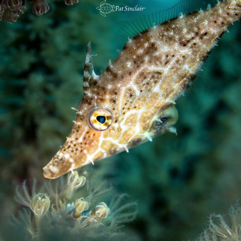 Slender filefish trying to hide (was usual.) by Patricia Sinclair