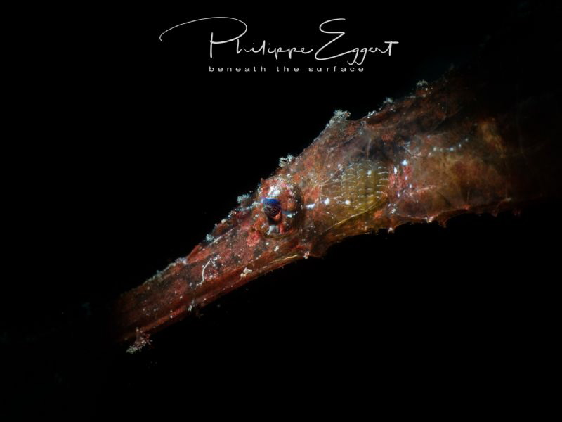 Spot on a ghost (detail of a Robust ghost pipefish, snooted) by Philippe Eggert