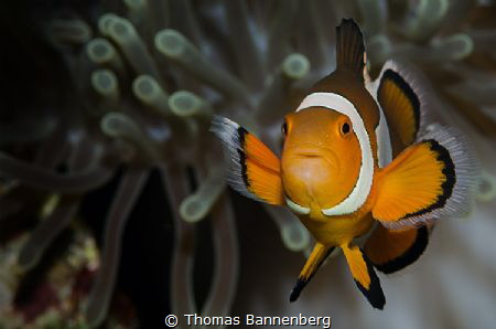 Clownfish Portrait by Thomas Bannenberg