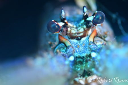 Spiny Lobster Stare Down! by Robert Ronec