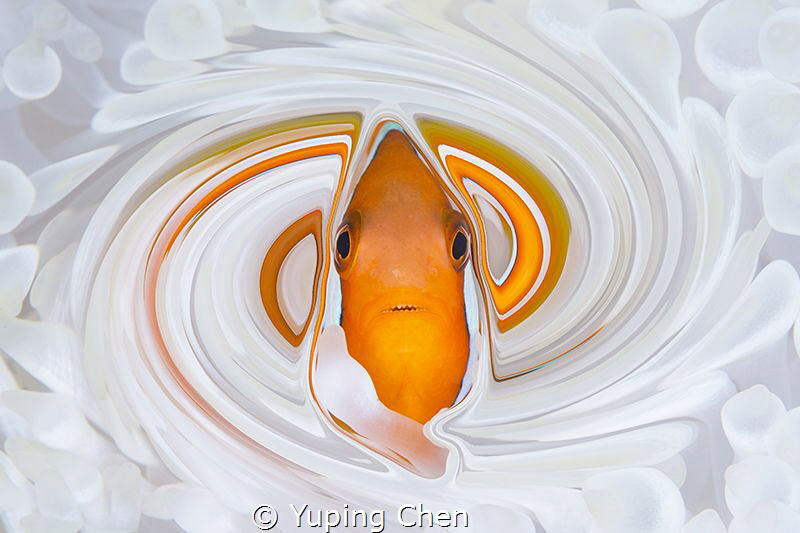 Living in the Spiral World/Tomato Anemonefish/Ishigaki, O... by Yuping Chen