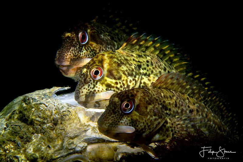 """""""Three in a row"""", Shanny (Lipophrys pholis), Zeeland, The... by Filip Staes"""