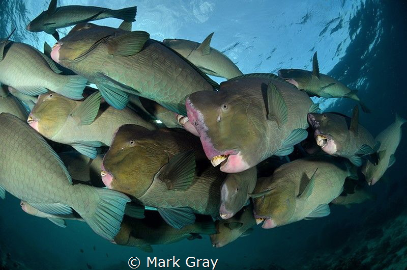 School of Bumphead by Mark Gray