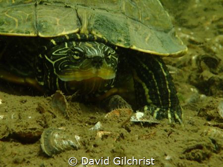 You're in my Space! A Northern Map Turtle takes exception... by David Gilchrist