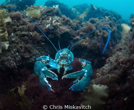 Blue Lobsters are a rare sight....But times you can find ... by Chris Miskavitch
