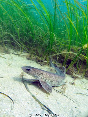 Dogfish or Smallspotted Catshark (Scyliorhinus canicula) ... by Gary Carpenter