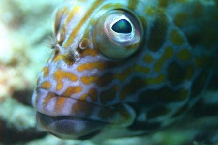 Stocky Hawkfish - Hawaiian name Po'opa'a. North Shore Oah... by Glenn Poulain