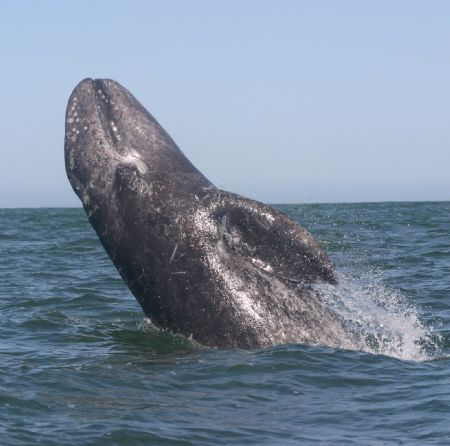 Breaching Gray Whale. This youngster broke water beside m... by James Dorsey