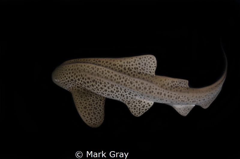 Leopard Shark at Julian Rocks, Byron Bay Australia by Mark Gray