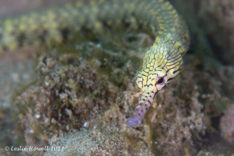 Pipefish by Leslie Howell