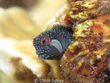 Twinhorn Blenny