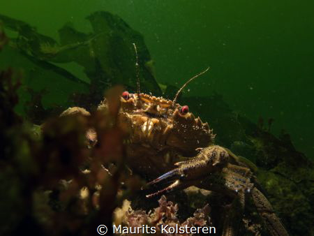 Velvet swimming crab with sinister red eyes.  Canon G16... by Maurits Kolsteren