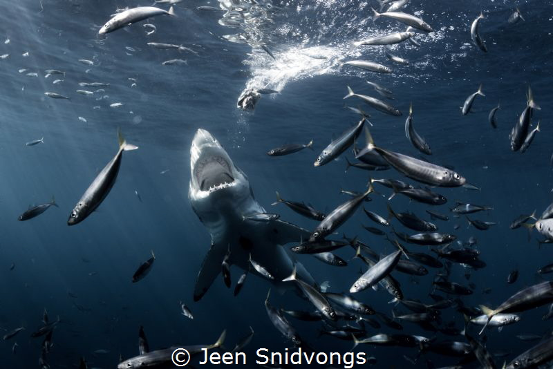 A great white lunging for a piece of bait. by Jeen Snidvongs