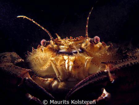 Velvet swimming crab giving me the evil look. :) by Maurits Kolsteren