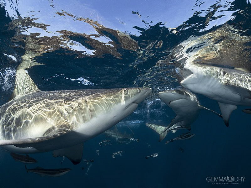 Oceanic Blacktips having a quick snack at the surface. by Gemma Dry