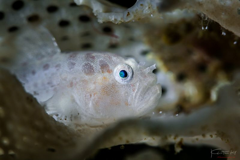 Lacey coral goby by Kelvin H.y. Tan
