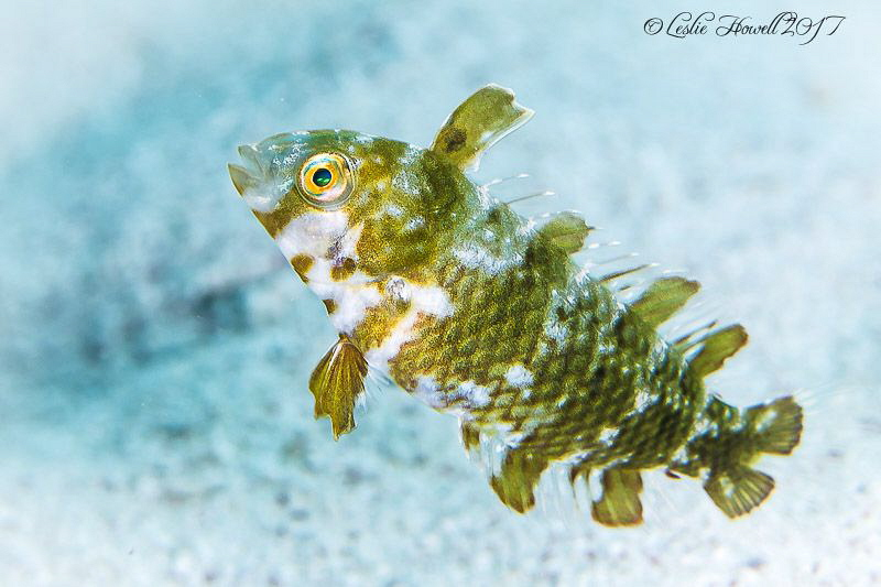 Juvenile razorfish by Leslie Howell