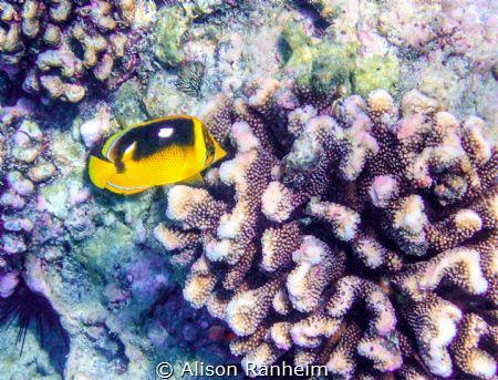 Kahaluu Bay, Hawaii by Alison Ranheim