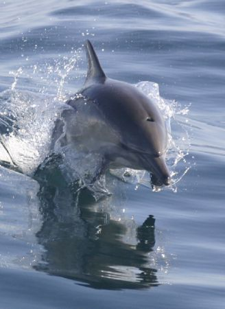 This dolphin was following my boat in the Santa Barbara c... by James Dorsey