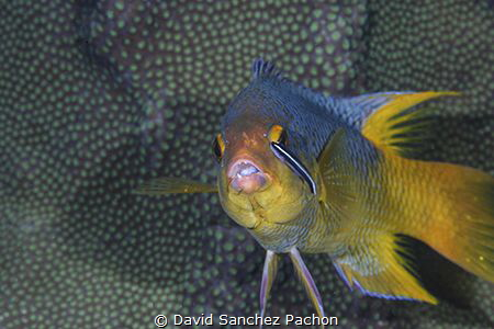 spanish hogfish at the cleaning station by David Sanchez Pachon