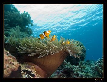 clownfish in anemone, taken in Bunaken, Sulawesi. by Marc Kuiper