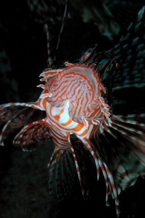 Lionfish from Hurghada by Ugo Gaggeri