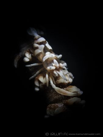 S N O O D  Whip Shrimp on Whip Coral (Pontonides uncigar... by Irwin Ang