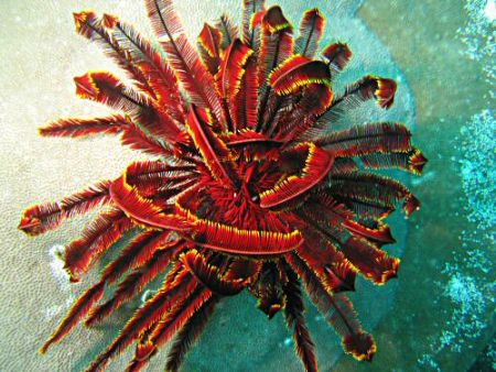 Beautifully coloured feather star in Raja Ampat by Dawn Watson