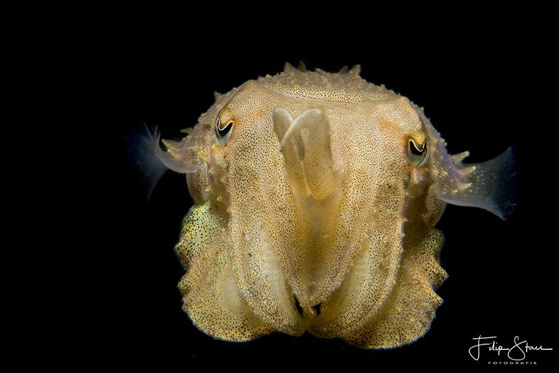 Juvenile cuttlefish, Zeeland, The Netherlands. by Filip Staes