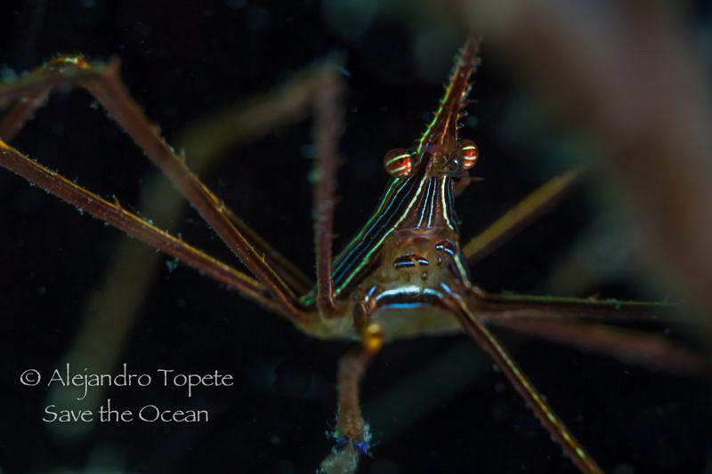 Arrow Crab in shadow, Veracruz Mexico by Alejandro Topete