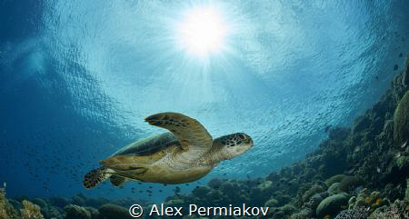 Green sea turtle and sun ball by Alex Permiakov