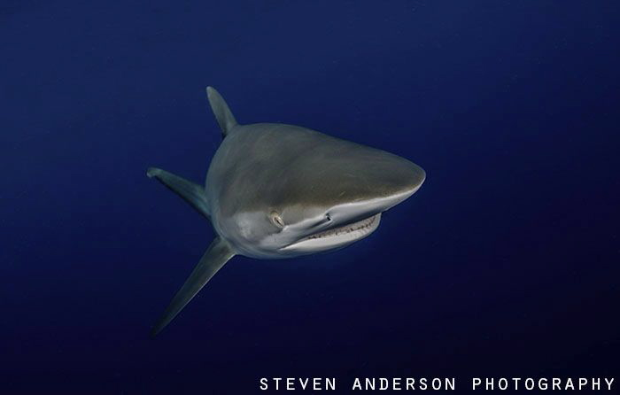 Sharks in the Gulf Stream off Jupiter FL by Steven Anderson