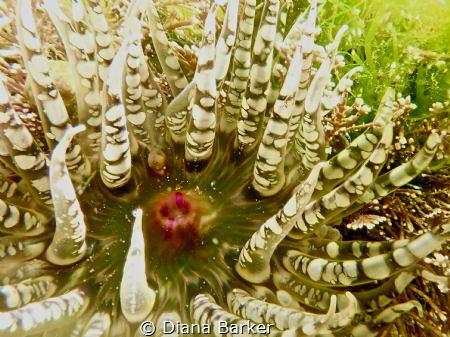 Gem anemone (Aulactinia verrucosa) off Portland Bill, Eng... by Diana Barker
